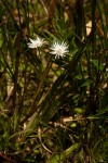 Ascolepis protea var. bellidiflora