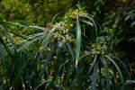 Cyperus involucratus