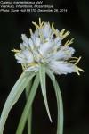 Cyperus margaritaceus