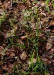 Cyperus dubius