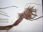 Eleocharis variegata