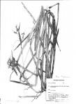 Scleria lagoensis
