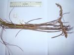 Scleria rehmannii