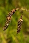 Carex petitiana
