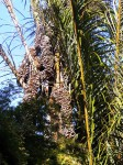 Raphia farinifera
