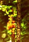 Amorphophallus abyssinicus subsp. unyikae