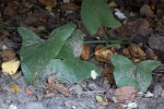 Stylochaeton natalensis subsp. natalensis