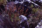 Platycaulos quartziticola