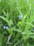 Commelina diffusa subsp. diffusa