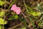 Commelina neurophylla