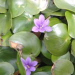 Eichhornia natans