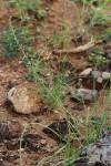 Trachyandra saltii