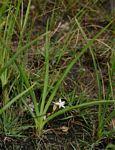 Chlorophytum affine var. curviscapum