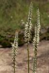 Chlorophytum colubrinum