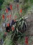 Aloe cameronii var. cameronii