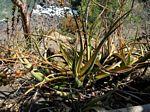 Aloe cryptopoda