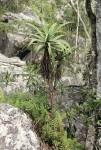 Aloe munchii