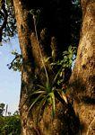 Aloe swynnertonii