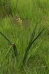 Albuca abyssinica