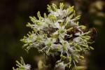 Drimia altissima