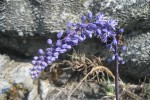 Merwilla lazulina