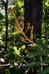 Dracaena mannii