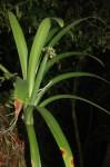 Cryptostephanus vansonii