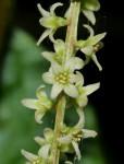 Dioscorea asteriscus