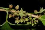 Dioscorea buchananii subsp. buchananii