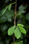 Dioscorea quartiniana