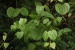 Dioscorea schimperiana