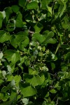 Dioscorea sylvatica
