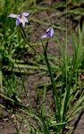 Moraea natalensis