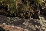 Hesperantha ballii
