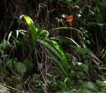 Crocosmia aurea subsp. aurea