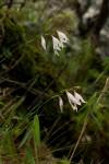 Gladiolus atropurpureus