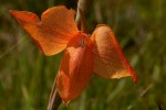 Gladiolus dalenii subsp. dalenii