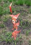 Gladiolus melleri