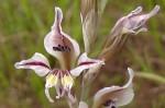 Gladiolus permeabilis subsp. edulis