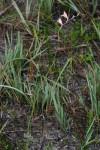 Gladiolus zimbabweensis