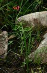 Freesia grandiflora