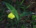 Siphonochilus kirkii - yellow-flowered form