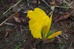 Costus macranthus