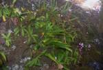 Stenoglottis zambesiaca
