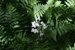 Habenaria stylites subsp. rhodesiaca