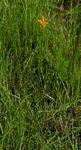 Platycoryne buchananiana