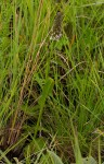 Brownleea parviflora