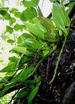 Bulbophyllum ballii