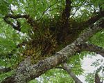 Bulbophyllum sandersonii subsp. sandersonii