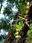 Bulbophyllum unifoliatum subsp. infracarinatum